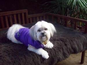 Shih Tzu X Pomeranian 3 Year Old Beautiful Female Dog. Cranbourne Casey Area Preview