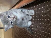 Kittens Beautiful Russian blue/Bengal