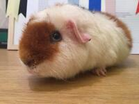 Male teddy guinea pig for sale