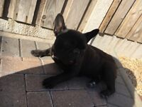 Kc French bulldog pedigree