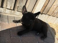 Kc French bulldog pedigree