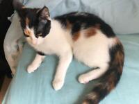 Female Calico & male tuxedo kittens - £370 each