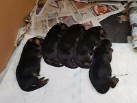 Kc registered german sheperd puppies for sale
