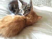 Two adorable make kittens for sale