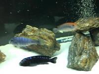 Various size & type Malawi cichlids