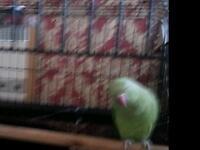 Green neck Parrots