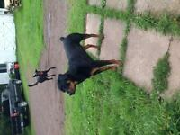 Adult Rottweiler