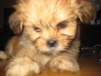 Beautiful Lhassa Apso pups ready in 2 weeks