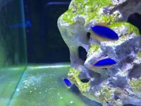 Fijan Bleu and gold damsel marine tropical reef fish 𝐓𝐚𝐧𝐤 salt water aquarium