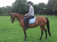 Arab X welsh 14.1hh mare