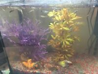 Guppies £1 each (50 of them)
