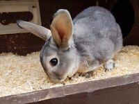 Chinchilla Rex Buck Rabbit