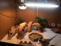 6-7 month old bearded dragon and 3ft viv with accessories