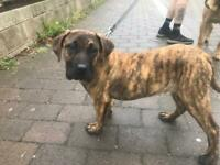 Female presa canario pup 4 months old