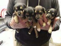 Terrier pups (ONLY 1 GIRL LEFT)