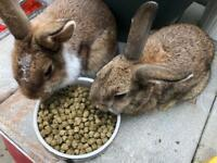 2 Rabbit Male and Female comes with Hutch