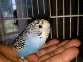 Hand tame budgie with yellow head