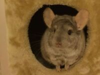 Chinchilla. 2 year old male. He is very friendly, comes with cage, playpen and all accessories