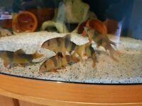 clown loach for fish tank aquarium kof wembley