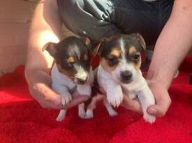 Jackrussel puppies for sale