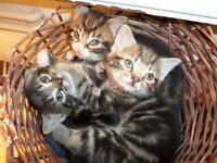 8 weeks old kittens,A combination of Maine Coon and Tabby