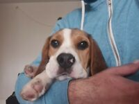 5months beagle to rehome