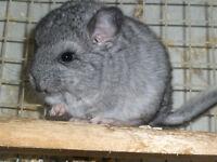2 x chinchilla baby's standard grey boys male chinchilla kits