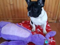 6 month old blue carrier french bulldog girl
