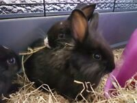 1 male mini dutch cross lion head