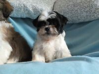 One Shih Tzu Pedigree Pup