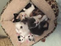 Adorable Kittens REDUCED PRICE