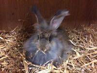 Beautiful Baby Angora Rabbits Ready Now