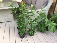 Laurel Hedging plants 3 left £4.00 each 2 ltr Pots other Hedging & Plants available