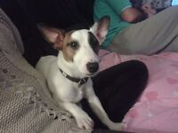 Free to good home --Male Jack Russell