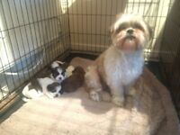 Shih Tzu: 2 girl and 2 boys, beautiful puppies. Mum and Dad can be seen,