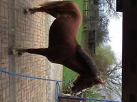 Show worthy filly for sale