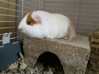 Guinea pig and cage FREE to good home