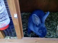 Blue Continental Giant Rabbit