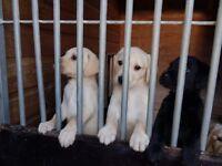 Pedigree Labrador Puppies 🐾🐾🐾