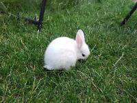 Netherland Dwarf Beautiful Baby Rabbit
