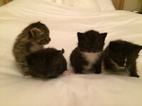 Beautiful kittens for sale. Ready to be collected