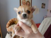 1 female chihuahua puppy 7 weeks old