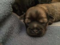 Shih-Tzu pups for sale