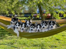 Beautiful litter of F2B Pomsky puppies for sale
