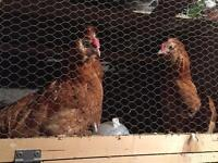 Young buff chamois polish roosters FREE