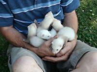 Ferrets for sale. 1 girl, 5 boys