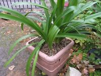 Agapanthus double African lily And 15 Additional Plants Weymouth