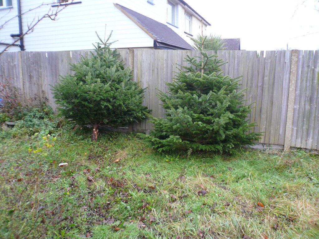 2 Christmas Trees A Tenner Each In Orpington London