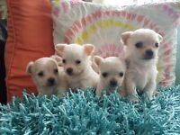 Beautiful litter of white chihuahuas