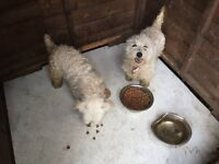 2 female West highland terriers for sale